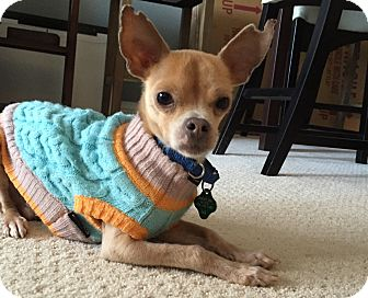 Chihuahua Mix Dog for adoption in San Francisco, California - Chance