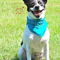 Australian Cattle Dog Mix Dog for adoption in Walton County, Georgia - Van