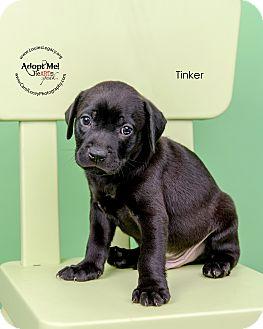 Labrador Retriever Mix Puppy for adoption in Cincinnati, Ohio - Tinker