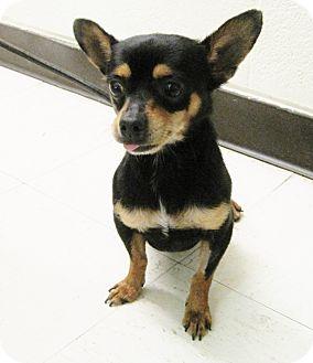 Chihuahua Dog for adoption in Hot Springs, Virginia - Jasper