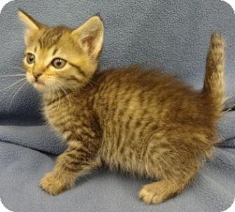 Domestic Shorthair Kitten for adoption in Olive Branch, Mississippi - Dover