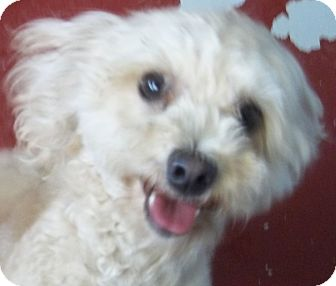 Poodle (Miniature) Mix Dog for adoption in Silver City, New Mexico - Happy