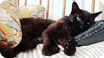 Domestic Longhair Cat for adoption in Santa Ana, California - Gummy Bear (Polydactyl!)