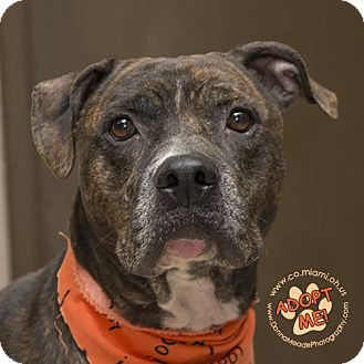 Pit Bull Terrier Dog for adoption in Troy, Ohio - Cedric