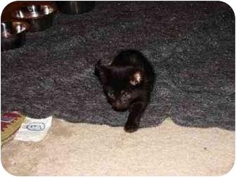 Domestic Shorthair Kitten for adoption in Gloucester, Virginia - Christy