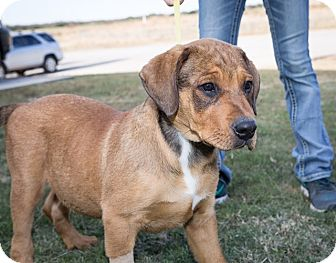 Rottweiler Mix Puppy for adoption in Kittery, Maine - The Boss