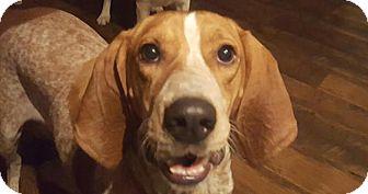 Redtick Coonhound/Hound (Unknown Type) Mix Dog for adoption in Rockville, Maryland - Melanie