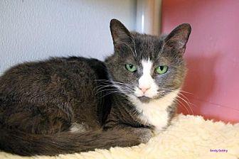 Domestic Shorthair Cat for adoption in Paris, Maine - Tara
