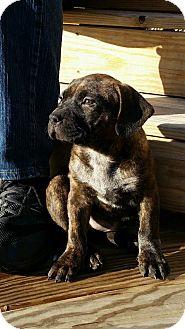 American Staffordshire Terrier/Labrador Retriever Mix Puppy for adoption in bridgeport, Connecticut - Primrose
