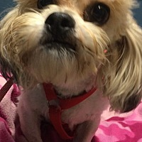 Adopt A Pet :: Ollie - Kansas city, MO