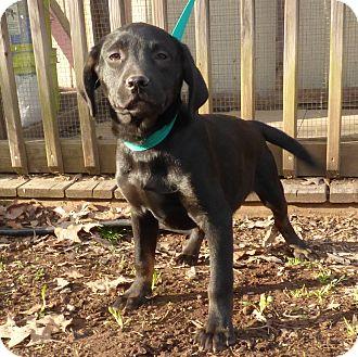Beagle/Labrador Retriever Mix Puppy for adoption in Hartford, Connecticut - Beck