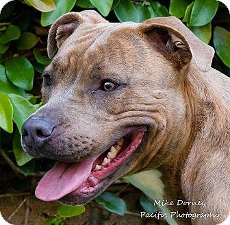 American Staffordshire Terrier Dog for adoption in Westminster, California - Koa
