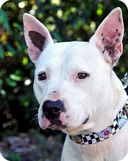 Bull Terrier/Pit Bull Terrier Mix Dog for adoption in Tacoma, Washington - Opal