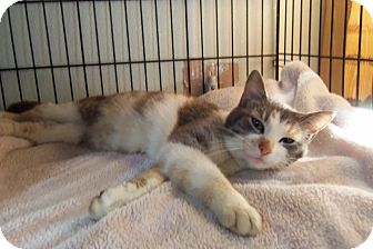 Domestic Shorthair Cat for adoption in Medford, Wisconsin - BREE