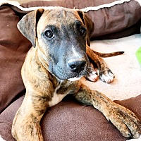 Adopt A Pet :: Layla (FORT COLLINS) - Fort Collins, CO