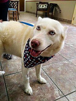 Siberian Husky Mix Dog for adoption in Sugar Land, Texas - Coconut