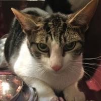 Adopt A Pet :: MR.DALLAS - St. Thomas, VI