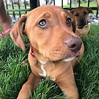 Adopt A Pet :: Foxy - Brooklyn Center, MN