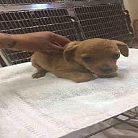 Adopt A Pet :: A094724 - Hanford, CA