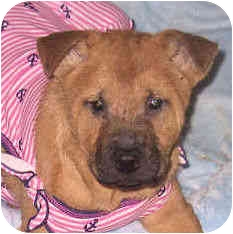 Shar Pei Mix Puppy for adoption in Barnegat Light, New Jersey - Tinker