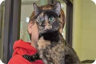 Domestic Shorthair Cat for adoption in Elyria, Ohio - Zoey