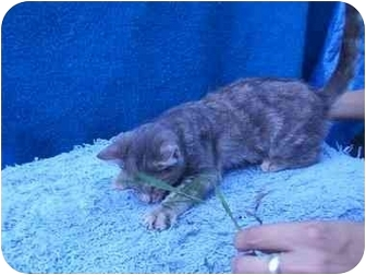 Domestic Shorthair Cat for adoption in LosAngeles, California - Blueberry Bagel