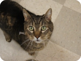 Domestic Shorthair Cat for adoption in Libby, Montana - Raven