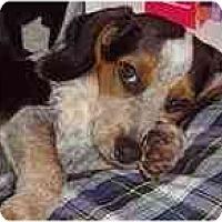 Adopt A Pet :: Dewey - Portland, OR