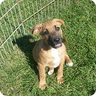 Boxer Mix Puppy for adoption in Liberty Center, Ohio - Porter