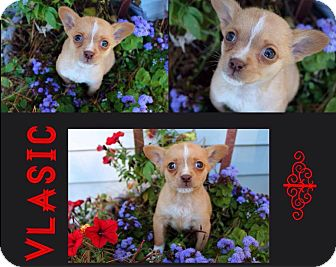 Chihuahua/Jack Russell Terrier Mix Puppy for adoption in Garden City, Michigan - Vlasic