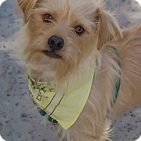 Adopt A Pet :: CORKY - Fort Worth, TX