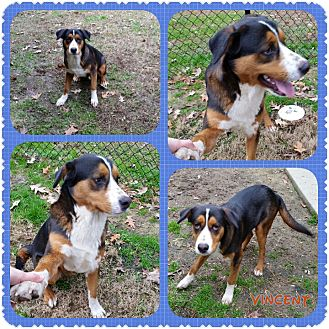 Bernese Mountain Dog/Hound (Unknown Type) Mix Dog for adoption in Louisburg, North Carolina - Vincent