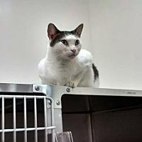 Domestic Shorthair Cat for adoption in Chesapeake, Virginia - Joe