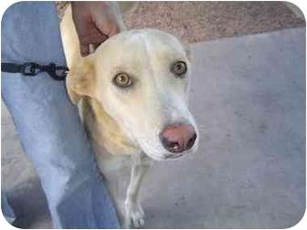 Labrador Retriever/Whippet Mix Dog for adoption in Mesa, Arizona - Kyra