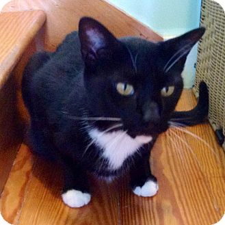 Domestic Shorthair Cat for adoption in Brimfield, Massachusetts - Diego - Declawed