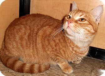 Domestic Shorthair Cat for adoption in Chattanooga, Tennessee - Ruby