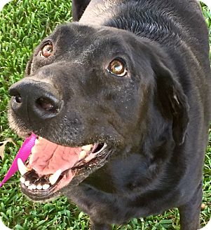 Labrador Retriever Mix Dog for adoption in Colorado Springs, Colorado - RANGER