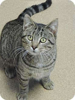 Domestic Shorthair Cat for adoption in Brookings, South Dakota - Perkins