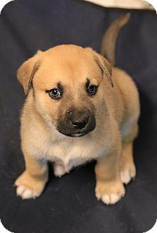 German Shepherd Dog/Labrador Retriever Mix Puppy for adoption in Harrisburg, Pennsylvania - RUDY