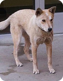 Cattle Dog Mix Dog for adoption in Farmington, New Mexico - Erica