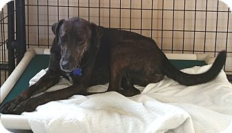 Boxer/German Shepherd Dog Mix Dog for adoption in Urbana, Ohio - Spanky