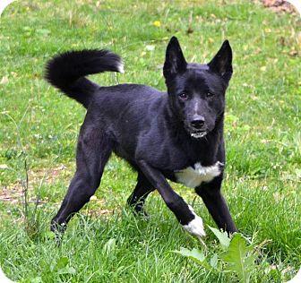 German Shepherd Dog/Labrador Retriever Mix Dog for adoption in Sylva, North Carolina - Precious