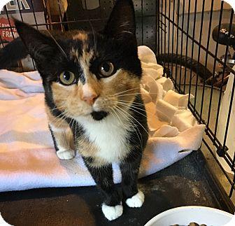 Calico Kitten for adoption in Berkley, Michigan - Alice