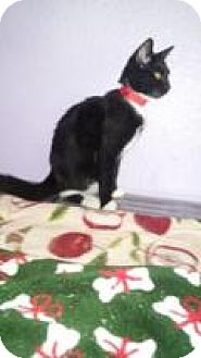 Domestic Shorthair Cat for adoption in Englewood, Florida - Marley