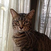 Domestic Shorthair Cat for adoption in Hamilton, New Jersey - Eli