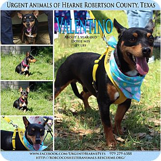Dachshund/Terrier (Unknown Type, Small) Mix Dog for adoption in Hearne, Texas - Valentino