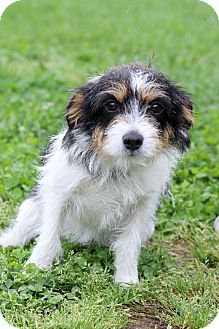 Jack Russell Terrier Mix Dog for adoption in Waldorf, Maryland - Kansas