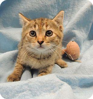 Domestic Shorthair Kitten for adoption in Sullivan, Missouri - 4 girl kittiens