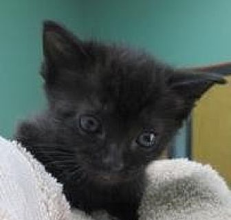 Domestic Shorthair Kitten for adoption in Columbiana, Alabama - Harmony