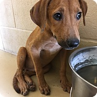 Adopt A Pet :: Dewy - Kirby, TX